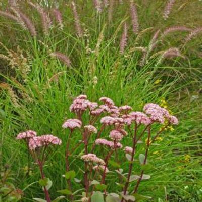 Vaste planten en heesters halfschaduwschaduw
