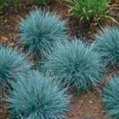 Blauw gras snoeien