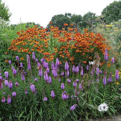 Plantafstand vaste planten