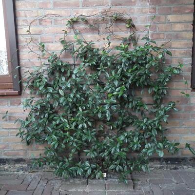 Trachelospermum jasminoides (Toscaanse jasmijn)