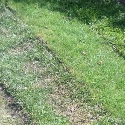 Is deze graszode nog te redden?