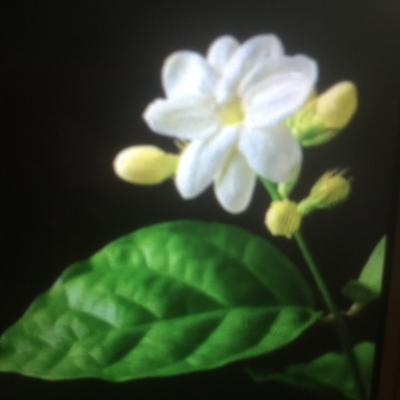 Thaise jasmijn bloem