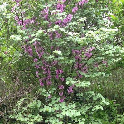 Hoe heet deze met paarse bloempjes?