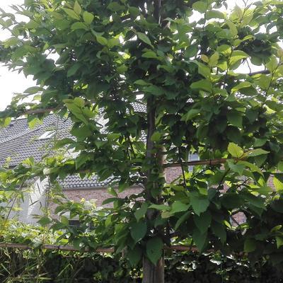 Leibomen - scherbomen - snoeitips