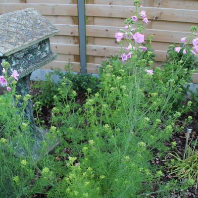Plant/struik met roze bloemen