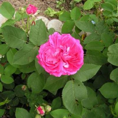 Heeft iemand een idee welke roos dit is