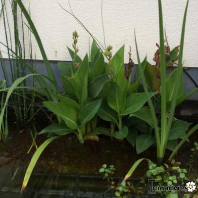 Wie kent deze plant en hoe moet ik die snoeien