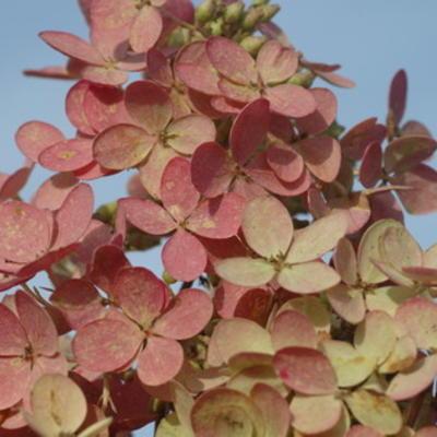 Hortensiaverbloeidagen bij Het Houten Huis.eu
