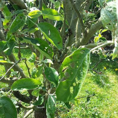 Vraat bij appelboom
