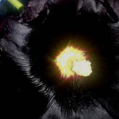 Mijn zwarte stokroos bloeit