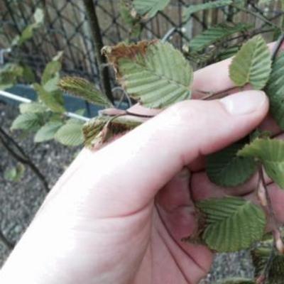 Jonge haagbeuk Bruine bladeren vanaf rand