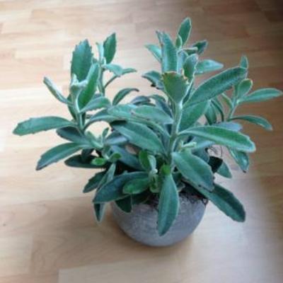 Welke vetplant is dit en hoe kan ik hem snoeien