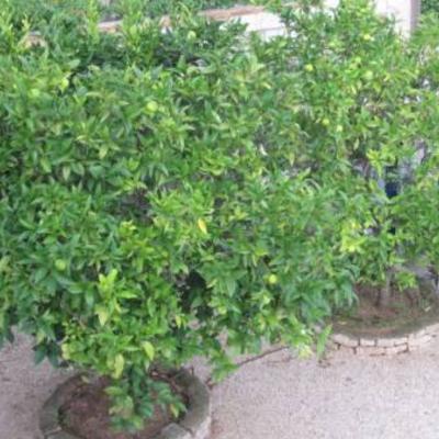 Citrusbomen in Spanje