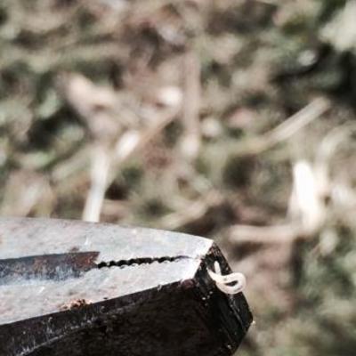 Zwarte moerbei bloedt kleine witte larven en witte schimmel