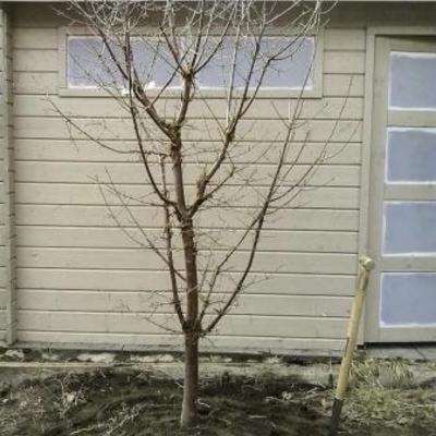 Acer griseum bloeitijd