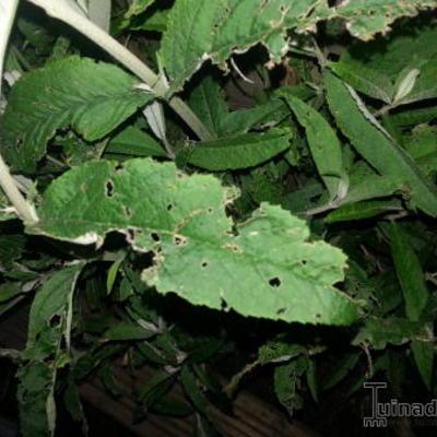 Vlinderstruik ziektes