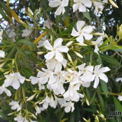Toscaanse jasmijn Trachelospermum jasminoides