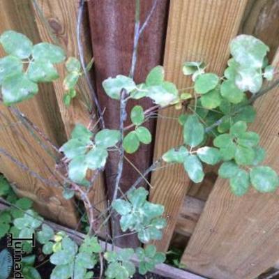 Akebia witte aanslag uitvallende bladen en gestagneerde groei