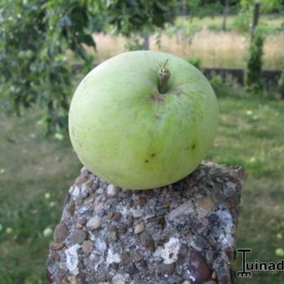 Onbekende appelboom