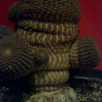 Cactus van entstam halen om op eigen wortel te zetten.
