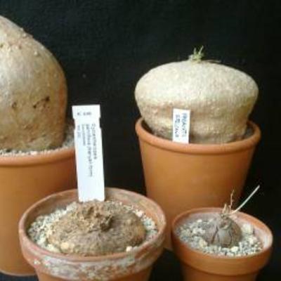 Caudiciforme planten verzorging