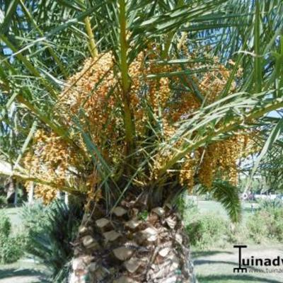 Palmbomen in Europa