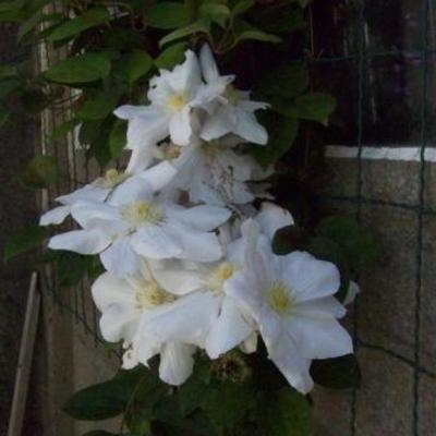 Clematis witte bloemen en zaadbol
