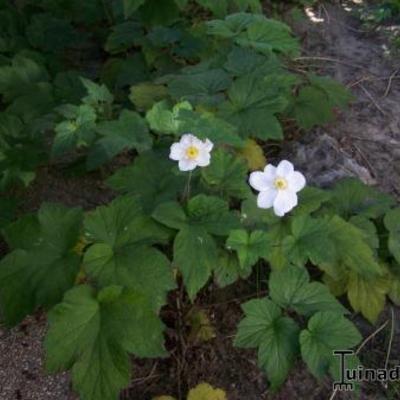 Met witte bloemen....
