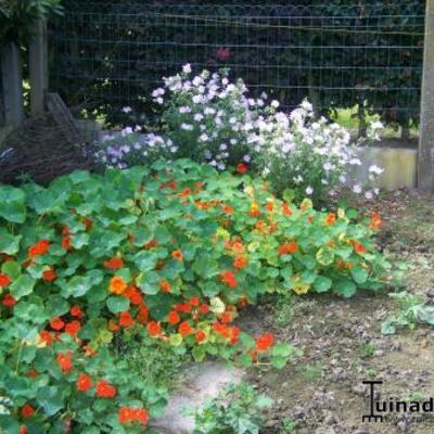 Met roodoranjegele bloemen
