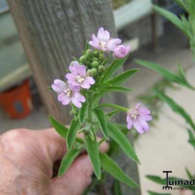Lang onkruid  met bloemen