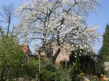 Welke hoogstamfruitboom voor schaduw in tuin