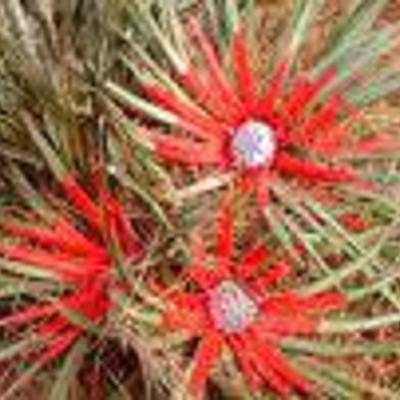 Weet  er iemand iets van  een winterharde Bromelia