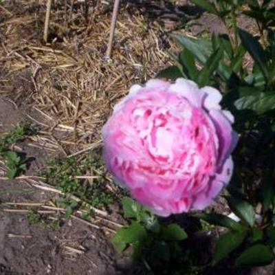 Mijn pioen rozen