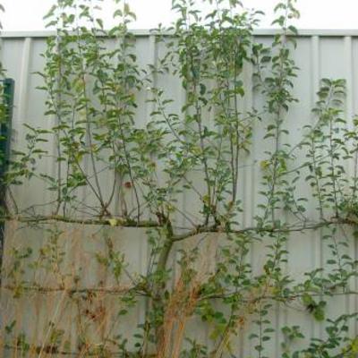 Snoeien leibomen fruit