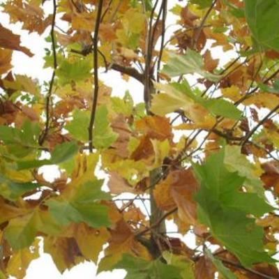 Plataan in herfstkleur