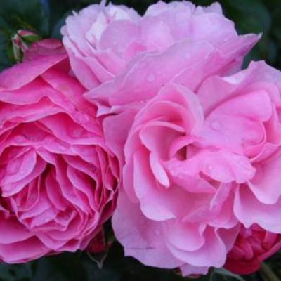 Sterke licht roze roos