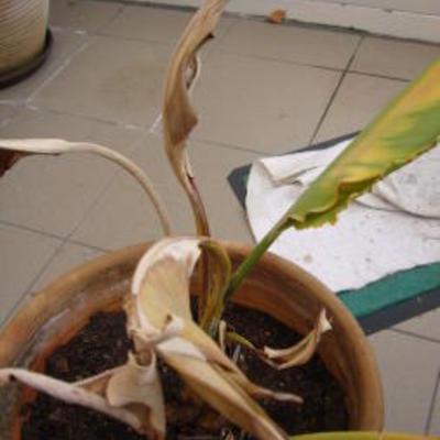Strelitzia wordt bruin