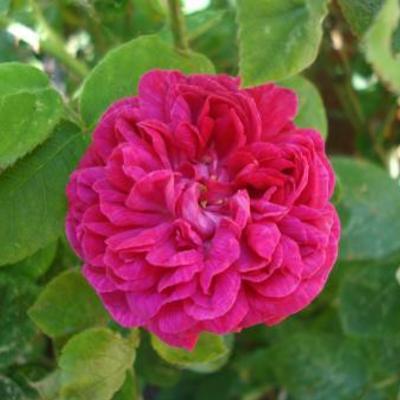 Welke rozenstruik