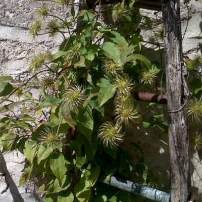 Plant uit zuiden van frankrijkwelke plant is dit