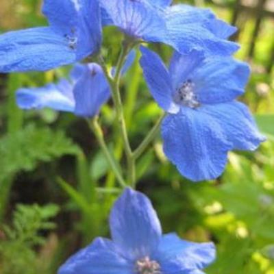 Wie kent deze plant met blauwe bloemen