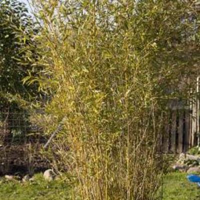 Spint op bamboe - Bamboe in bakken terras ...