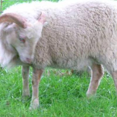 Dwergschapen ideaal voor een stukje wei te onderhouden