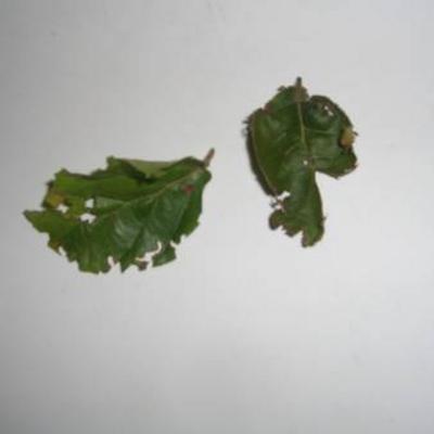 Beukenhaag bladeren aangevreten