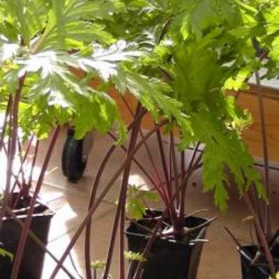 Jonge Geranium maderense planten te koop