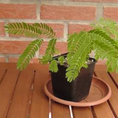 Jonge Albizia jullibrisin plantjes