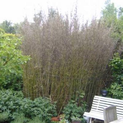 Bamboe of grassen