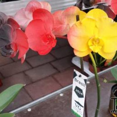 Na de blauw gekleurde orchidee nu de Duitse orchidee