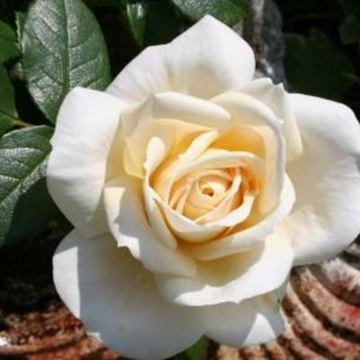 Rozen in bloei