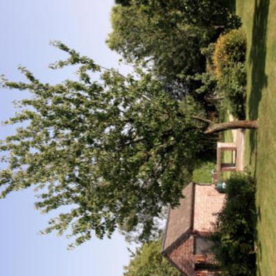 Hoe deze kersenbomen te snoeien