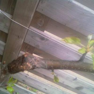 Gebroken tak van jonge appelboom redden